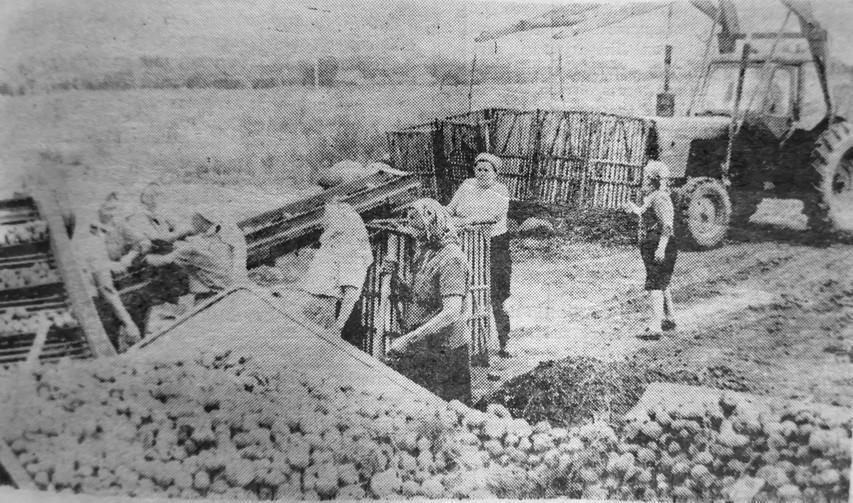 1979 рік: мешканці Зориного сортують картоплю