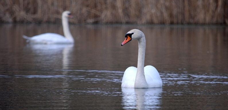 В Ямполі оселились лебеді