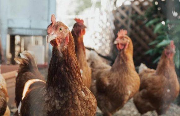 Ямпільчан попередили про грип птиці