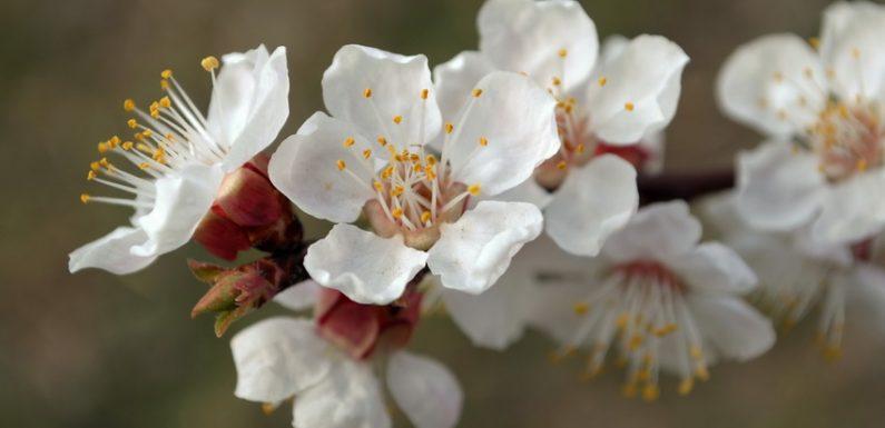Незважаючи на нічні заморозки в Ямполі цвітуть квіти та дерева (фоторепортаж)