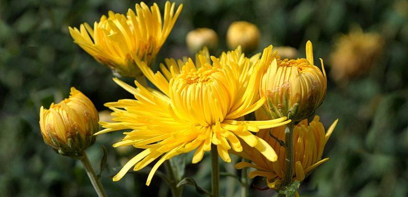 В ямпільських юннатах цвітуть хризантеми