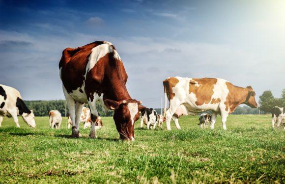 На Ямпільщині триває диспансеризація великої рогатої худоби