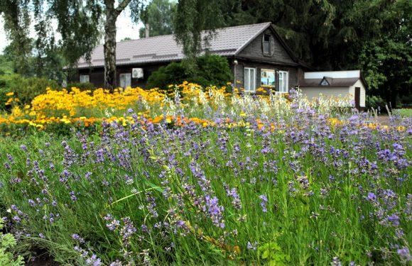 В ямпільських юннатах цвіте лаванда