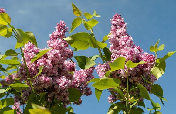 Ямпіль потопає у весняному цвіті