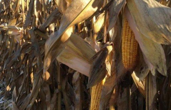 Крадіжка кукурудзи з інвесторського поля ледь не закінчилась для свесянина тюремним ув'язненням